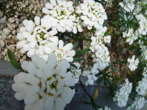 0702 小 道端の白花.jpg