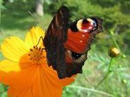 ④100908  s  butterfly3.jpg