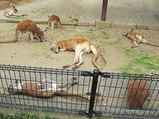 koiblog 120422  s  kangaroo.jpg