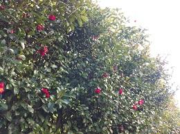 koiblog  ss  130308 camellia2.jpg
